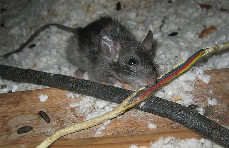 Chuột cũng là nguyên nhân gây rò rỉ gas