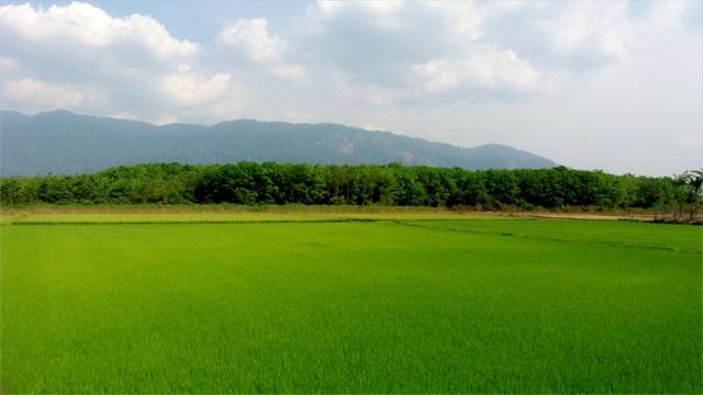 Màu sắc cánh đồng mướt mắt (Ảnh: Thảo Nhi)